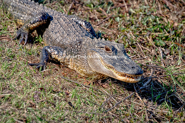 Jekyll Island Gator #2