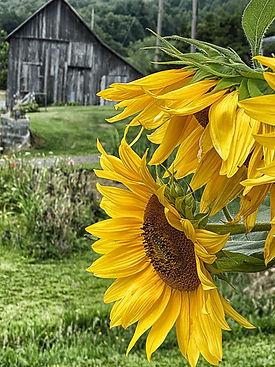 Banner Elk Sunflowers # 2.jpg