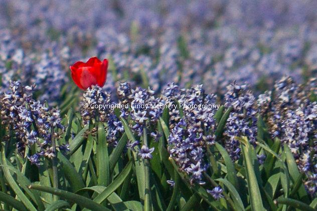 Tulips #5 | Holland