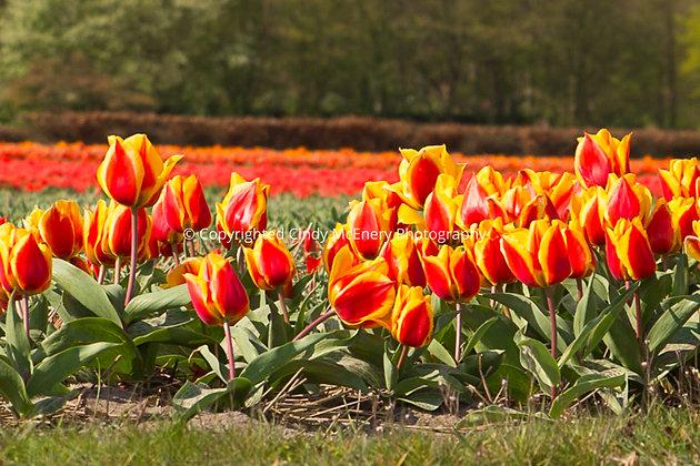 Tulips #3 | Holland