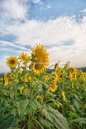 Raleigh Sunflowers #3