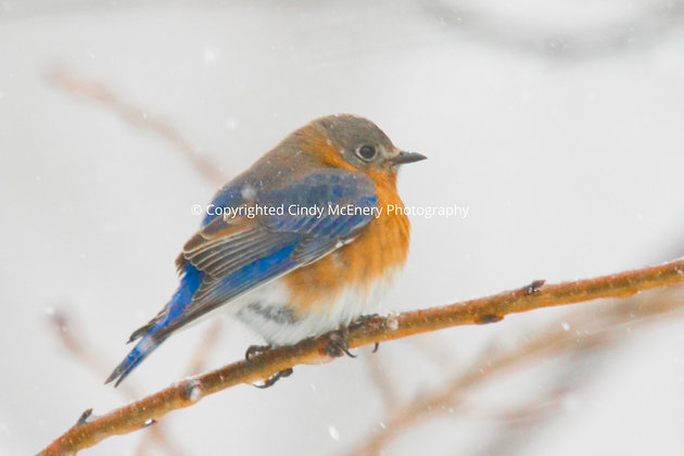 Winter Bluebirds #2