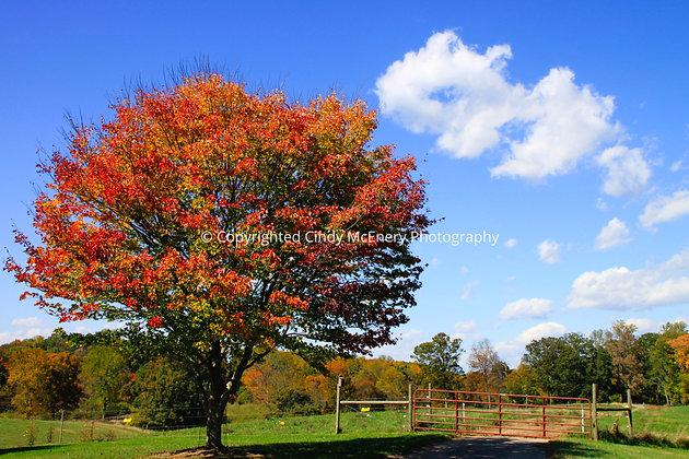 Tree #1 | Biltmore