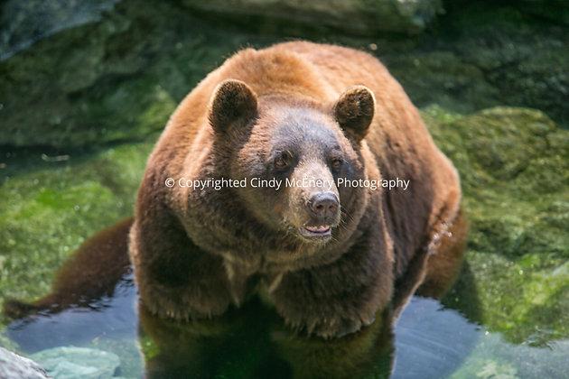 Grandfather Bear #1