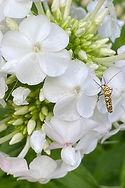 CW Webworm Moth 2020.jpeg