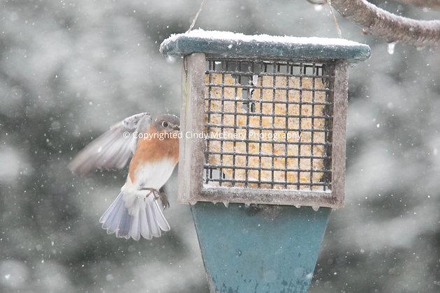 Winter Bluebirds #4