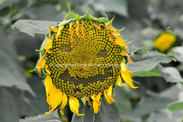 Biltmore Sunflowers #1