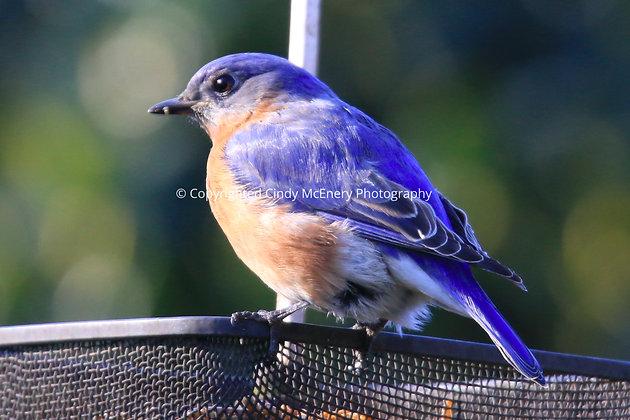 Bluebirds #2