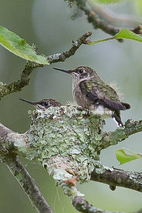 Hummingbird #11
