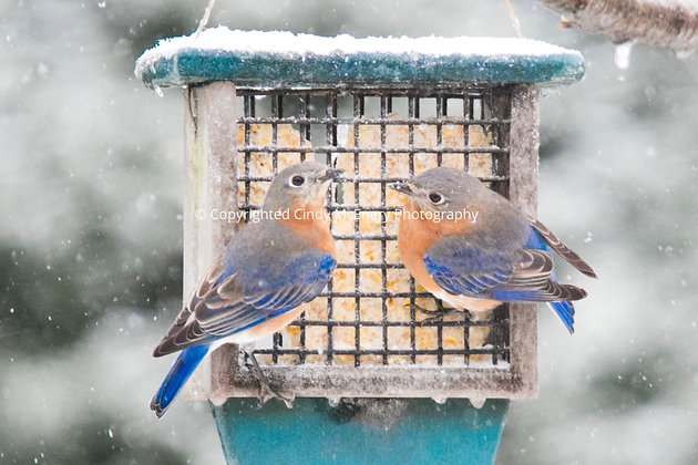 Winter Bluebirds #5