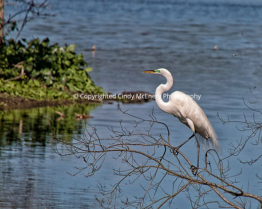 Jekyll Island Heron #1