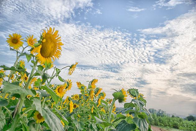 Raleigh Sunflowers #6