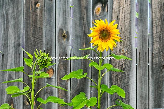 Apple Hill Sunflowers #2