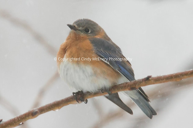Winter Bluebirds #3