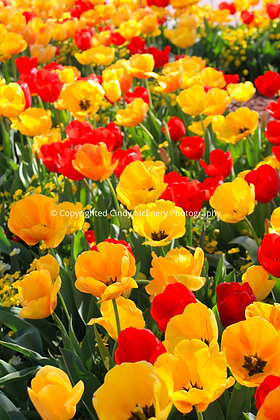 Tulips #1 | Governor's Mansion