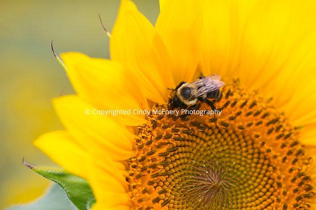 Raleigh Sunflowers #17