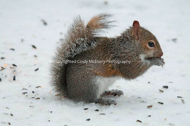 Winter Squirrel #3