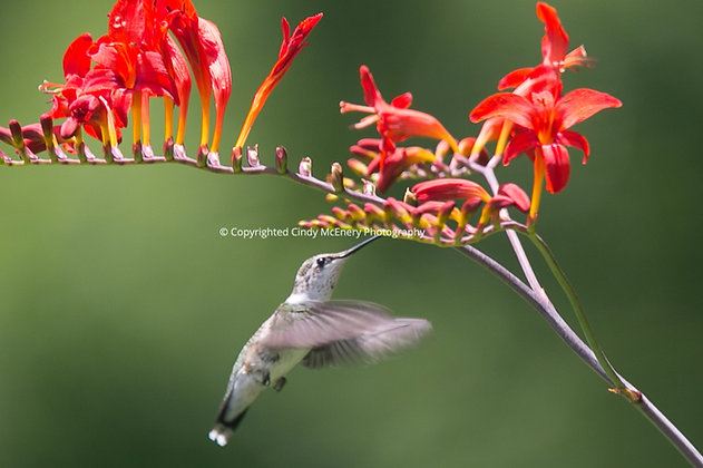 Hummingbird #21