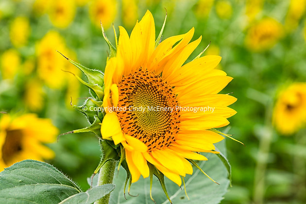 Raleigh Sunflowers #11