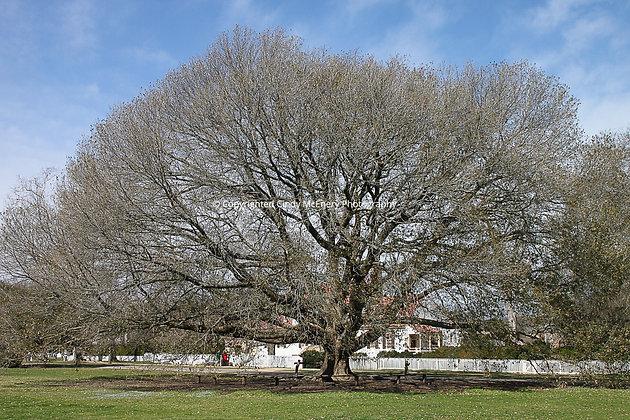 Compton Oak #1