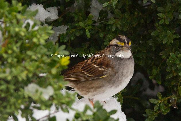 Winter Sparrow #1