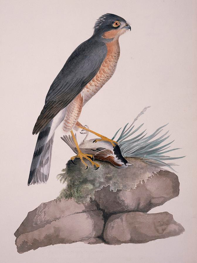 Eurasian sparrowhawk by William MacGillivray