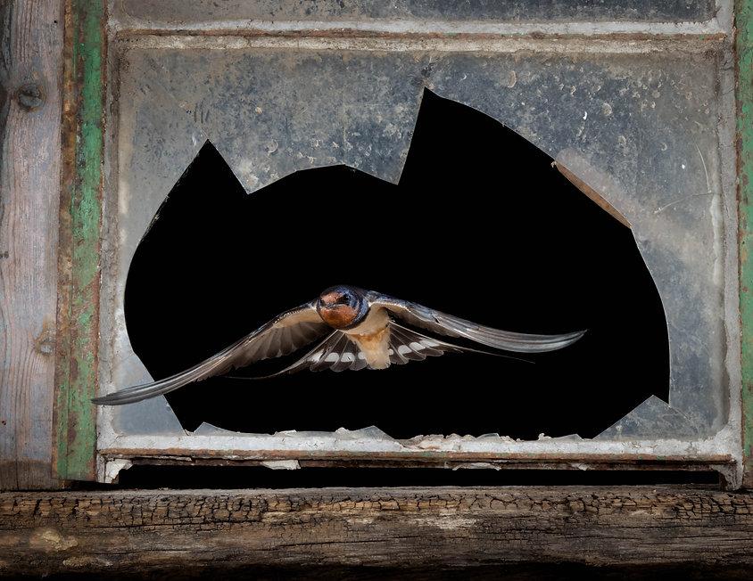 Swallow-0982_mkII.jpg