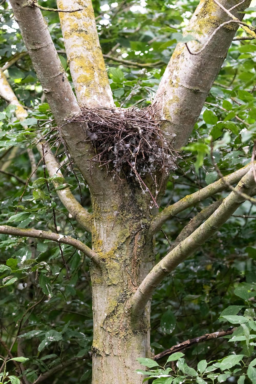 A sparrowhawk's nest.