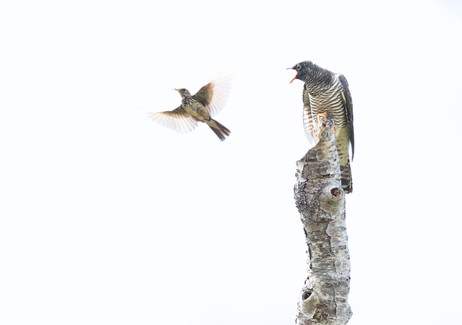 Juvenile cuckoo and meadow pipit.