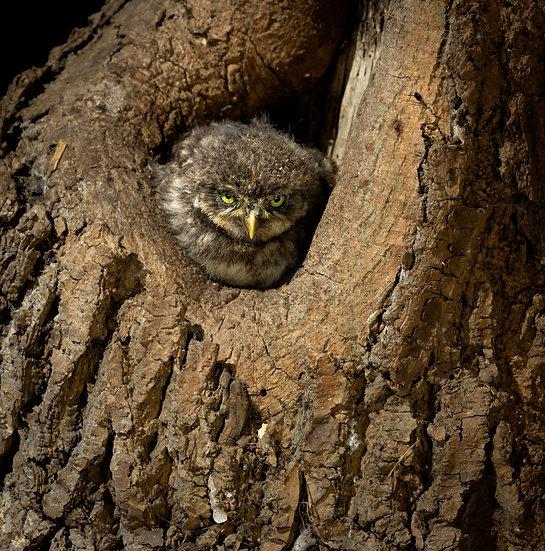 Little Owl, Big Attitude!