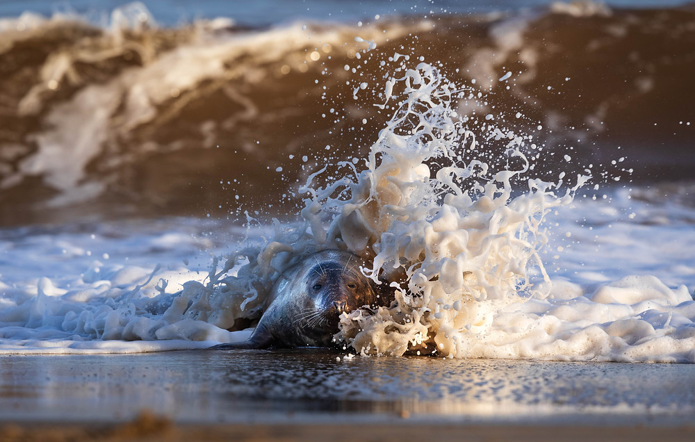 A grey seal in the waves on an east Norfolk beach