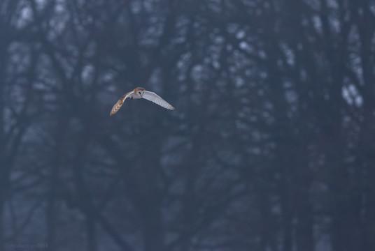 Winter Fen Owl