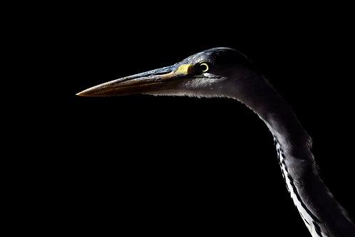 Grey (night) Heron