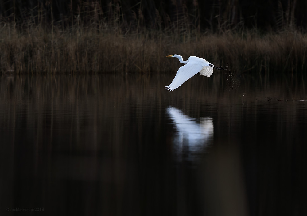 A great white egret flies across a fenland mere.