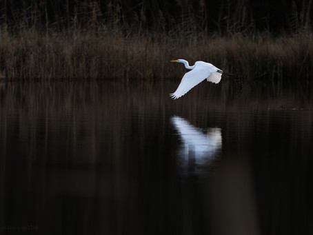 The Great White of the Waveney Valley