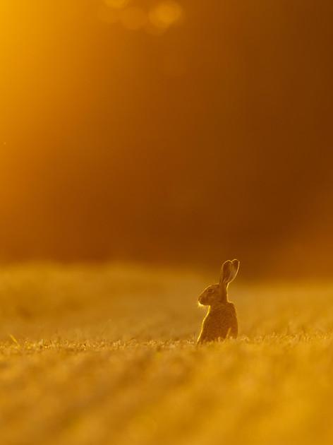 Hare-7071_mkII.jpg