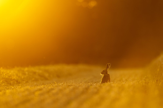 Sunset Harvest Hare