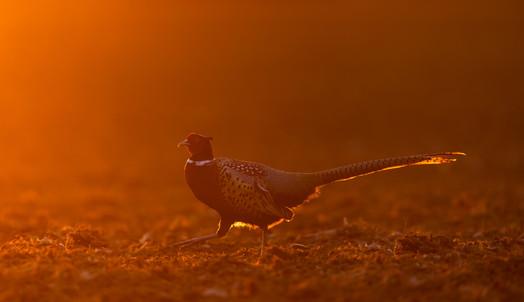 Morning Pheasant