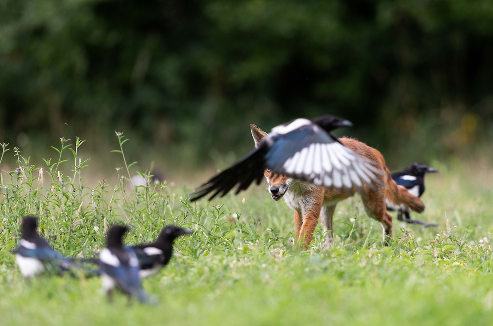 A red fox strides confidently towards a group of chattering magpies.