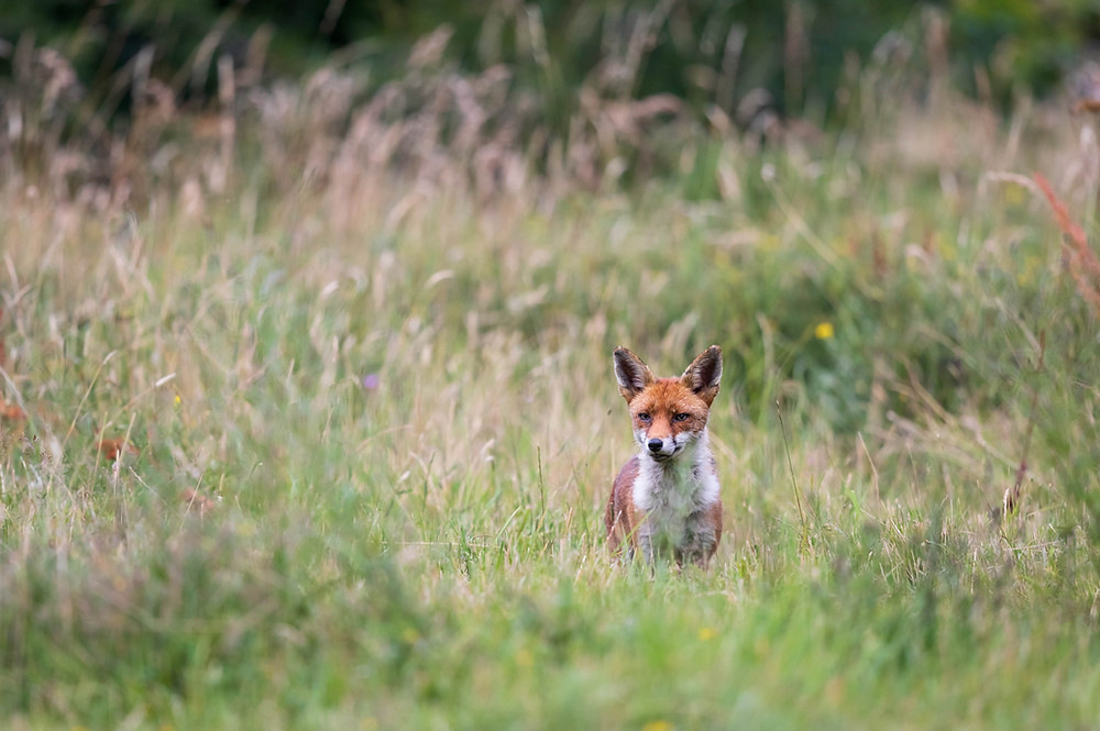 Red fox among the tall grasses.
