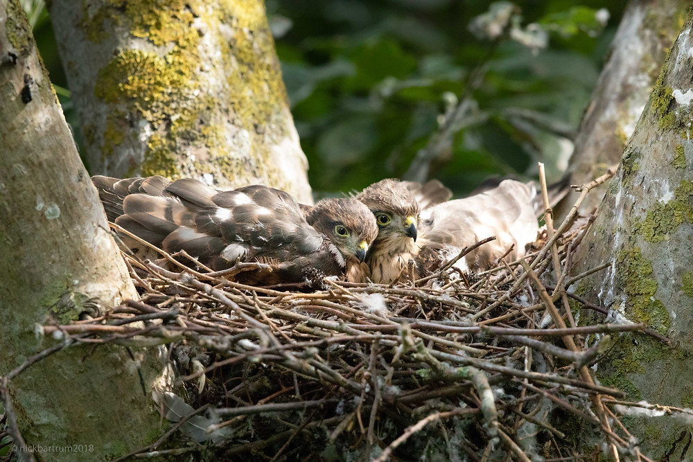 Young sparrowhawks on the nest.