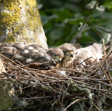 Let Sleeping Hawks Lie