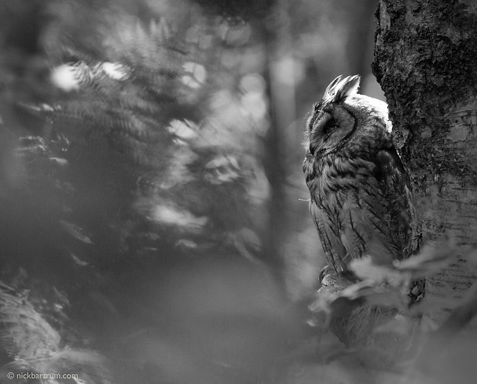 Wise Owl (Long Eared Owl)