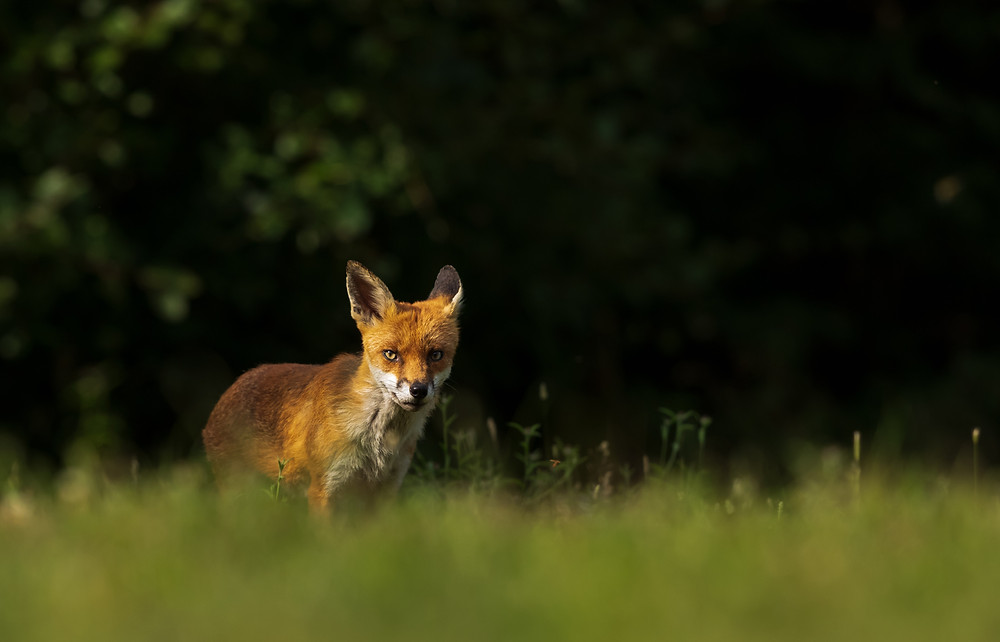 A wild vixen emerges into the light of a woodland glade in Essex.