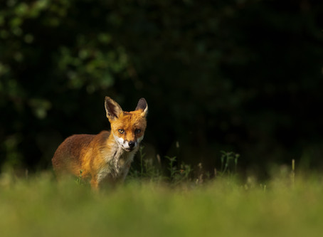 The Wild Foxes of Essex