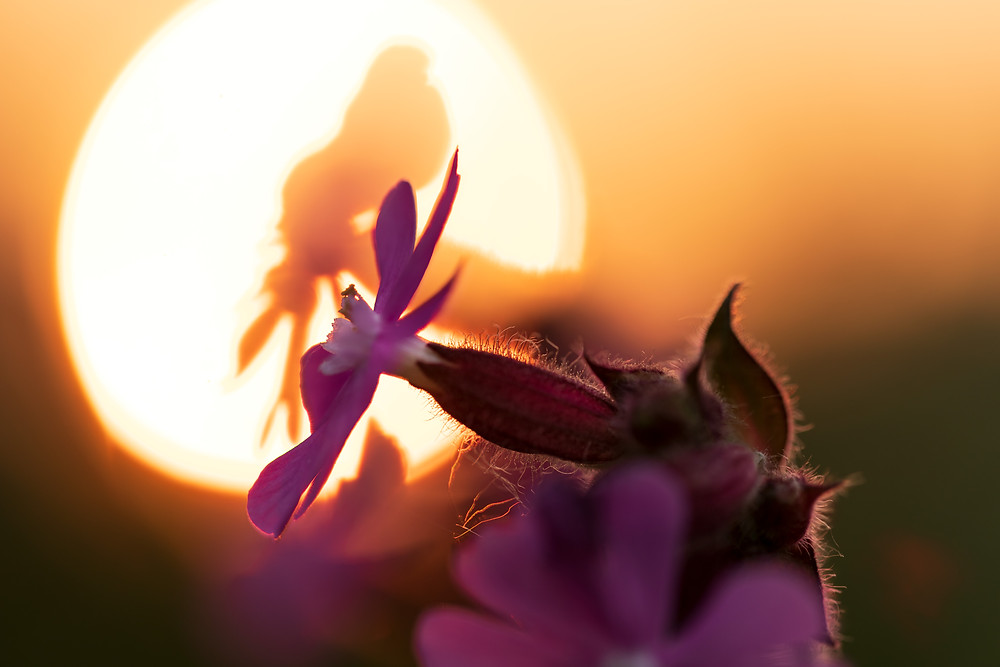 campion, wildflower, red, pink, sunset, setting sun, silhouette