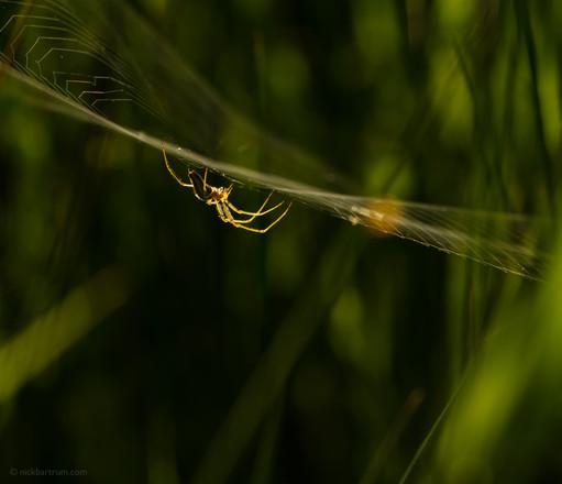 Fen spider