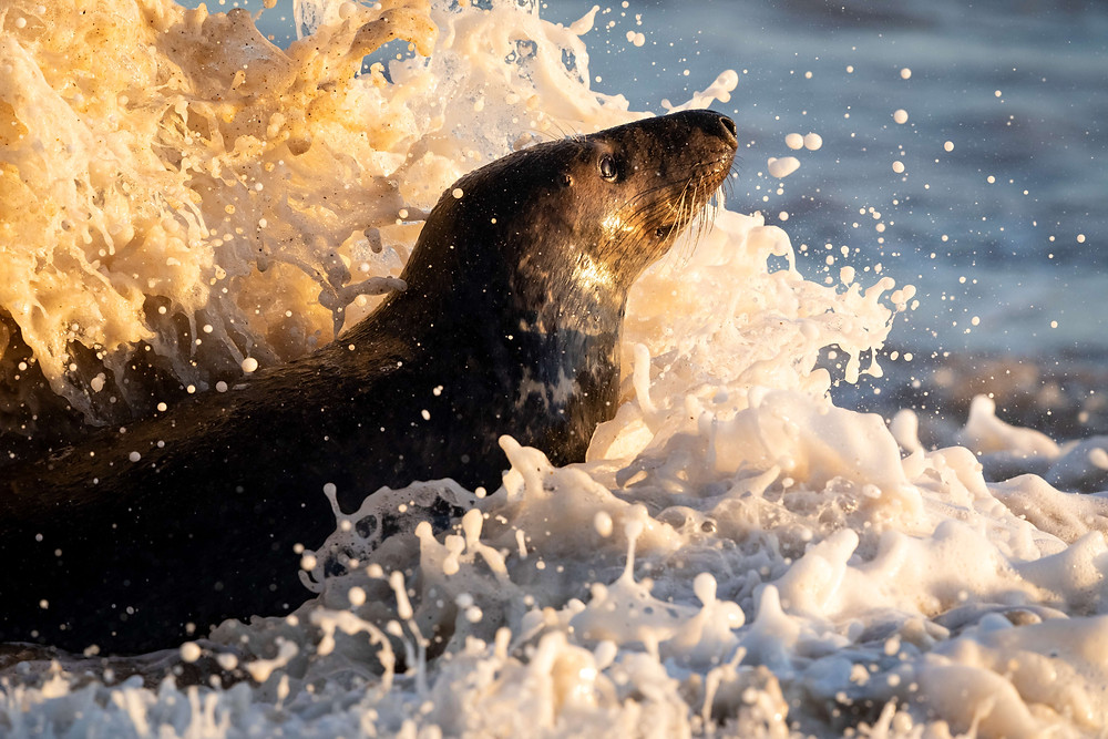 An adult grey seal in the waves on a Norfolk beach.