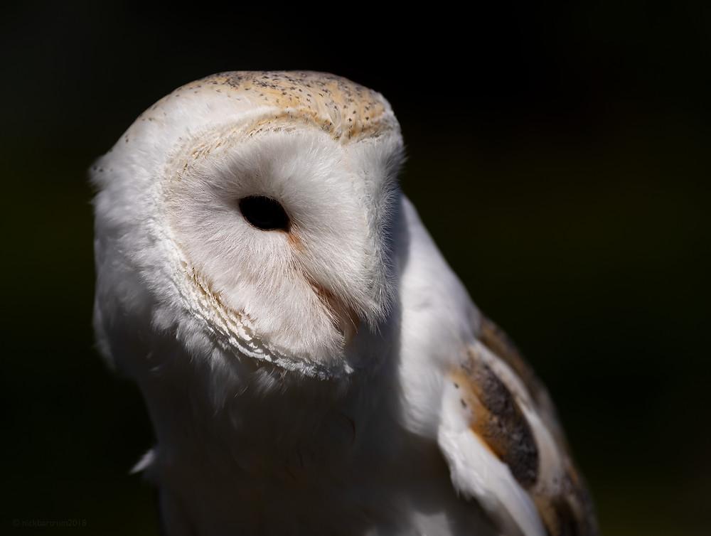 barn owl, owls, birds, feathers