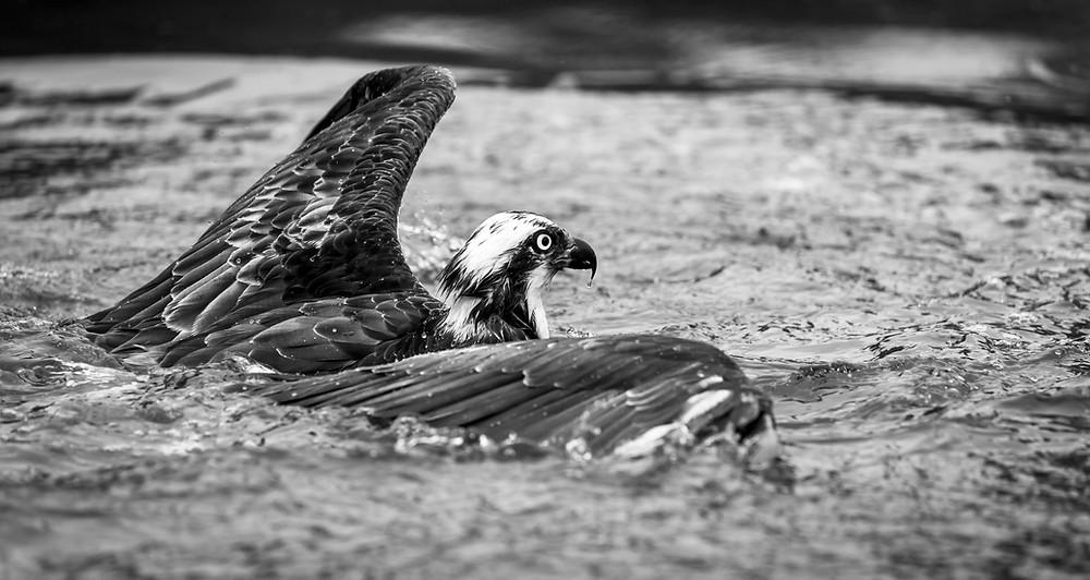 opsrey, bird of prey, water, wings, monochrome